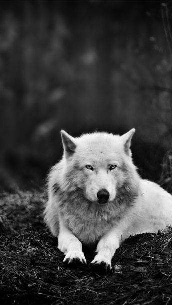 white_wolf_in_the_forest