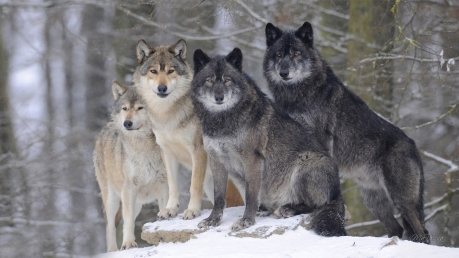 Winter-wolf-forest-wallpaper-high-quality-resolution
