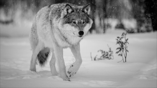 winter-wolf-hd-wallpapers-66810-1915731.png
