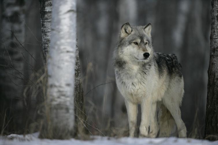 Grey wolf, Canis lupus, single mammal on snow, captive