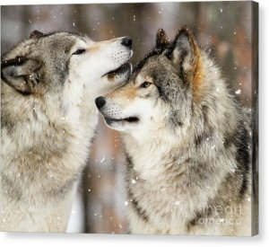 winter-wolves-heather-king-canvas-print