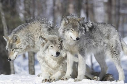 winter-wolves-zoom
