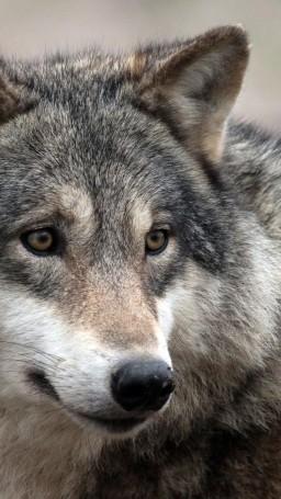 wolf-majestic-wild-predator