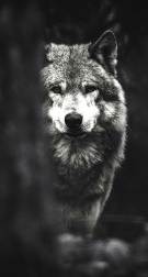 wolf-the-iphone-wallpapers