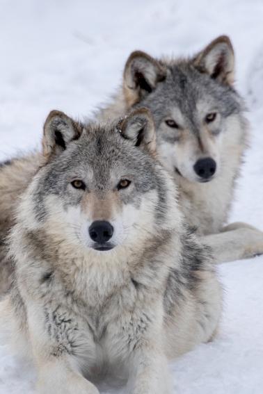 Wolf-Winter-6