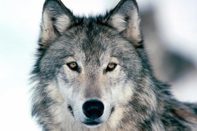 wolf-winter-snow-face-eyes-predator-poster-silk-fabric-cloth-print-wall-sticker-Wall-Decor-custom.jpg_640x640