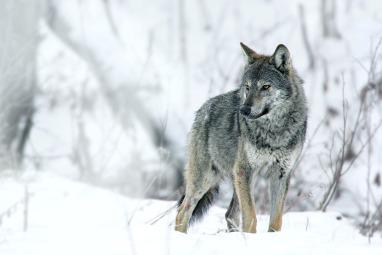 wolf-winter-wildlife-watching-festival-wwf-2019-grzegorz-lesniewski-02