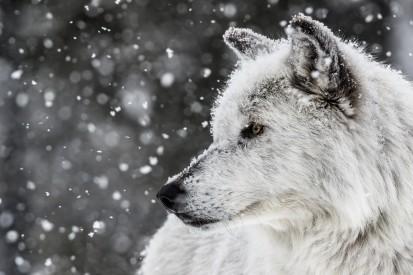 wolf_animals_nature_snow_white-554567.jpg!d