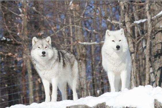 Wolf_artic