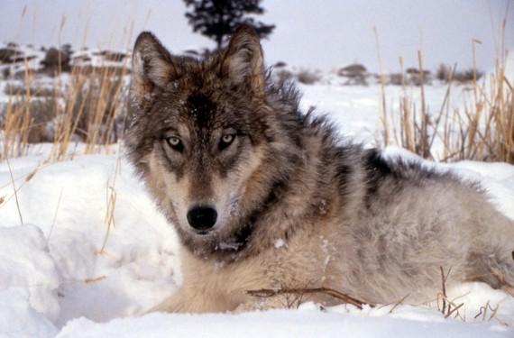 wolf_canine_snow_winter_cold_mammal_nature_wild-764407.jpg!d