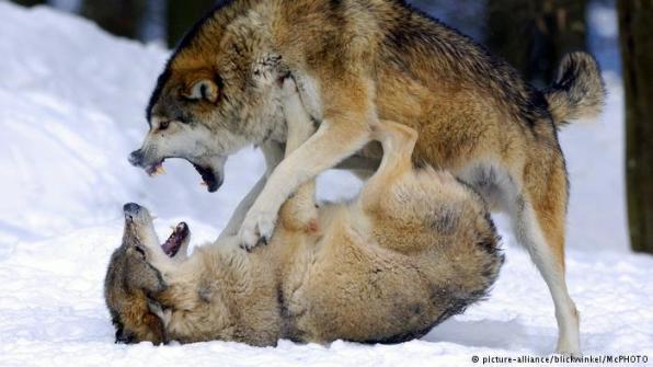Wolf_warriors