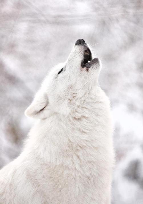 wolfcryyy