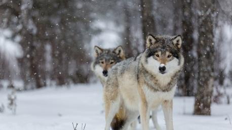 Wolves-eyes-winter-snow-trees-bokeh_1920x1080