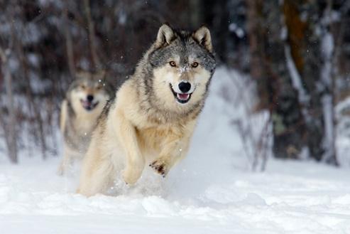 wolves-snow