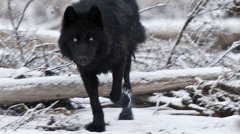 Wolves-Wallpaper-046