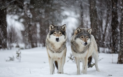 Wolves_Winter_Snow_Two_454616