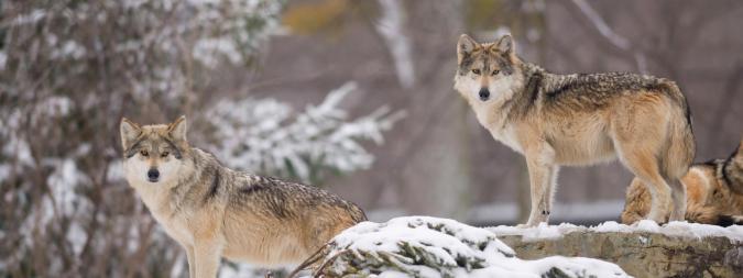 wolves_yellowstone4